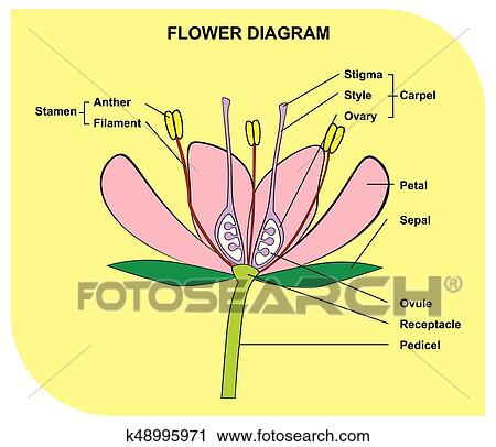 Clipart - partes, de, flor, anatomía, diagrama k48995971 - Buscar ...