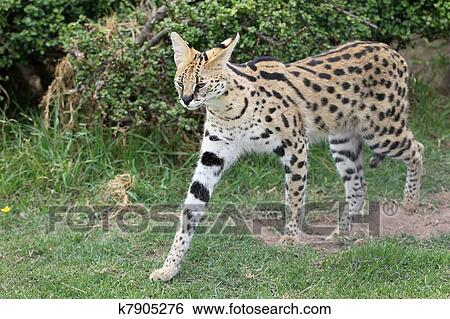 Banque de Photographies , serval, chat sauvage. Fotosearch