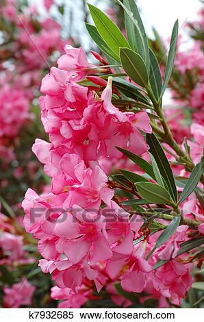 Stock image of beautiful pink flowers mediterranean plants beautiful pink flowers mediterranean plants mightylinksfo