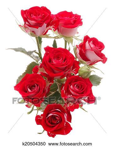 Arquivos De Fotografia Rosa Vermelha Buquê Flor Isolado Branco