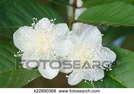 Hd Images Of Guava Flower