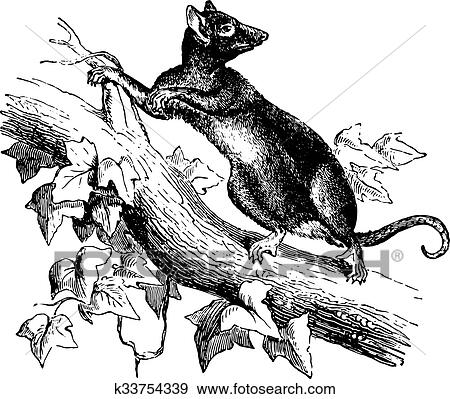 Clip Art Of Opossum Or Possum Vintage Engraving K33754339 Search