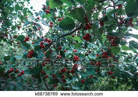 Red Berries Of Hawthorn Stock Photo K68738769 Fotosearch