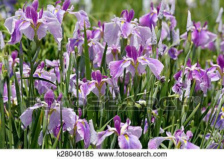 Purple iris flower on flower bed