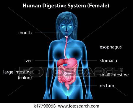 Clipart - sistema digestivo humano k17796053 - Buscar Clip Art ...
