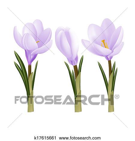 Crocus Flowers Clipart K17615661 Fotosearch