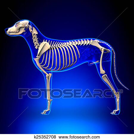 Fotos - perro, esqueleto, -, lupus de canis, familiaris, anatomía ...