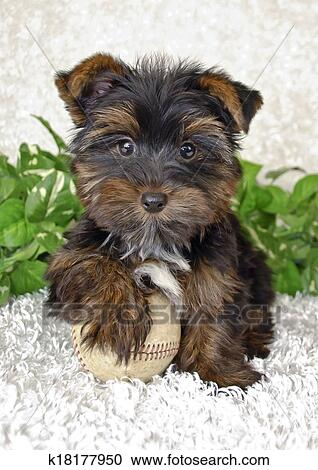 Cute Yorki Puppy Stock Image