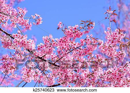 Drawing Of Beautiful Pink Sakura Flower Blooming On Blue Sky