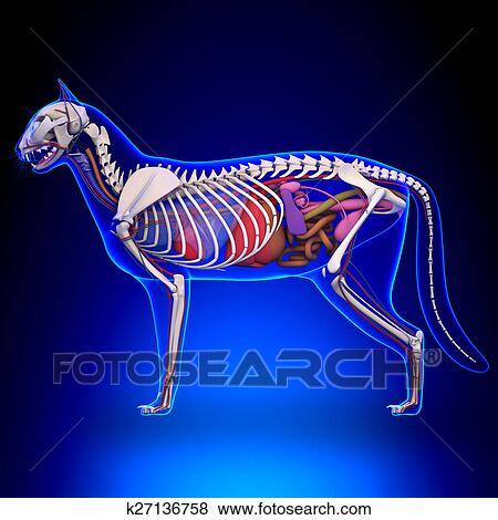 Colección de ilustraciones - gato, anatomía, -, interno, anatomía ...