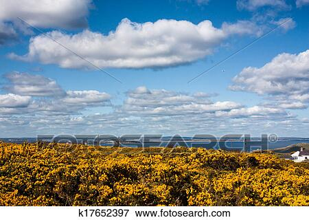 Picture of yellow pea flowers on howth cliffs in ireland k17652397 picture yellow pea flowers on howth cliffs in ireland fotosearch search stock photography mightylinksfo