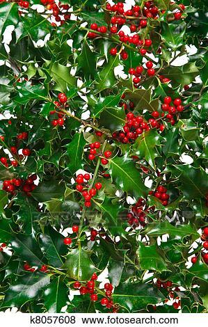 Immagini agrifoglio con bacche rosse fondo k8057608 for Agrifoglio immagini