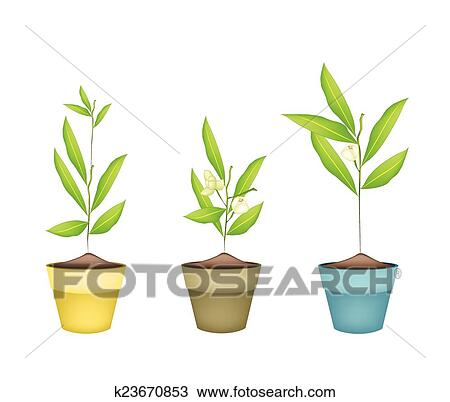 Beautiful Flower, An Illustration White Color of Ylang-Ylang Flowers on Tree in Ceramic Flower Pots or Clay Plant Pots for Garden Decoration.