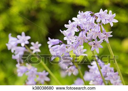 stock fotografie hyacinthoides hasengl ckchen glockenblume blumen in blau lila. Black Bedroom Furniture Sets. Home Design Ideas
