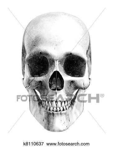 Foto - cráneo humano, -, vista delantera k8110637 - Buscar fotos e ...