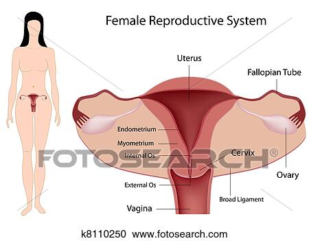 Clipart of female reproductive system eps8 k8110250 search clip clipart female reproductive system eps8 fotosearch search clip art illustration murals ccuart Gallery