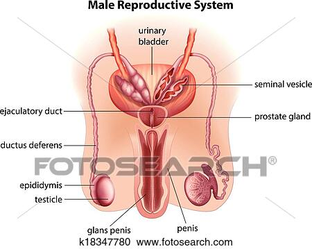 Clipart Of Anatomy Of The Male Reproductive System K18347780
