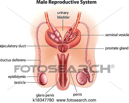 Clipart of Anatomy of the male reproductive system k18347780 ...
