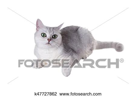 Green Eyed Cat Of Breed British Shorthair Color Black Silver Shaded Isolated On White Background Stock Image K47727862 Fotosearch