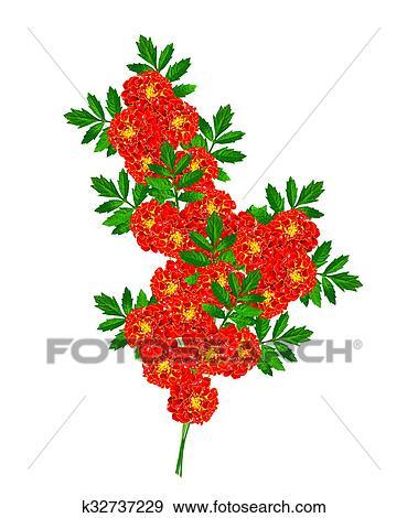 Stock illustration of marigold flowers isolated on white background marigold flowers isolated on white background mightylinksfo