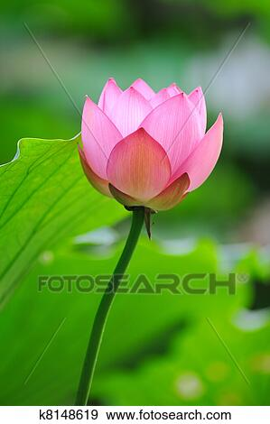 Stock photograph of lotus flower k8148619 search stock photography lotus flower mightylinksfo