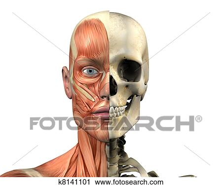 Clipart of Male Skull - Muscles k8141101 - Search Clip Art ...