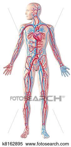 人間 循環 システム 完全な 図 Cutaway 解剖学 イラスト で