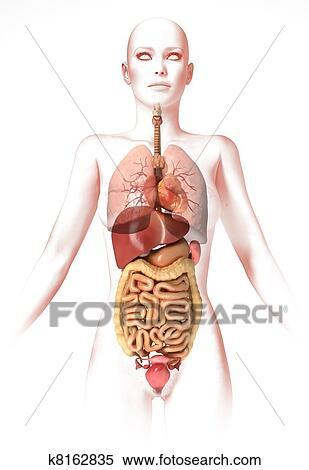 Anatomie Corps Humain Femme banque d'illustrations - corps femme, à, intérieur, organs