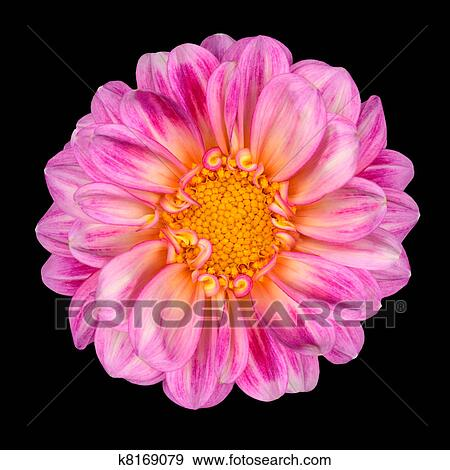 Stock Photograph Of Dahlia Flower With Pink White Petals And Yellow