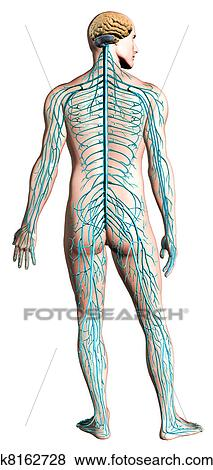 Stock illustration of human nervous system diagram k8162728 human nervous system diagram anatomy cross section with clipping path included ccuart Images