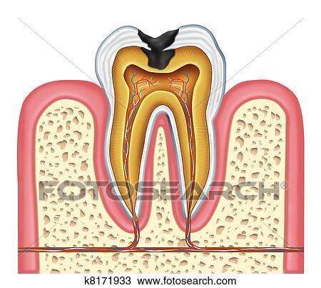 Dibujo - diente, interior, anatomía, de, un, cavidad k8171933 ...
