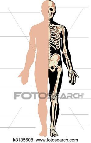Clip Art - menschlicher körper, und, skelett k8185608 - Suche ...