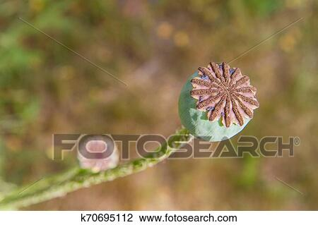 Poppy Seed Seed Pod Stock Image K70695112 Fotosearch