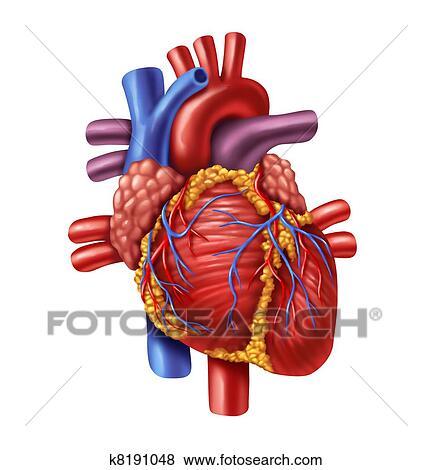 Colección de ilustraciones - corazón humano k8191048 - Buscar Clip ...
