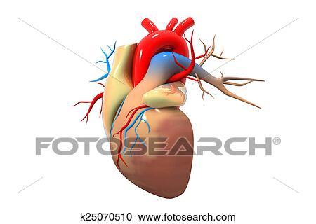 Menschliches Herz Clipart