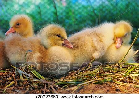 Stock Photography of Baby Yellow Ducks k20723660 - Search Stock ...