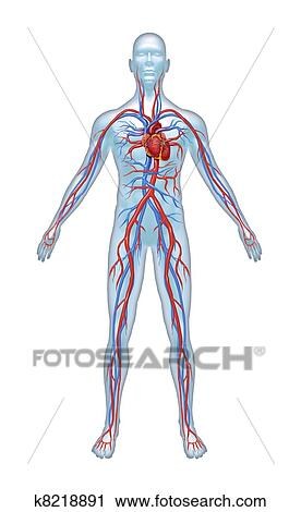 Clipart Of Human Cardiovascular System K8218891 Search Clip Art