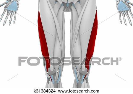 Drawings of Vastus lateralis - Anatomy map muscles k31384324 ...