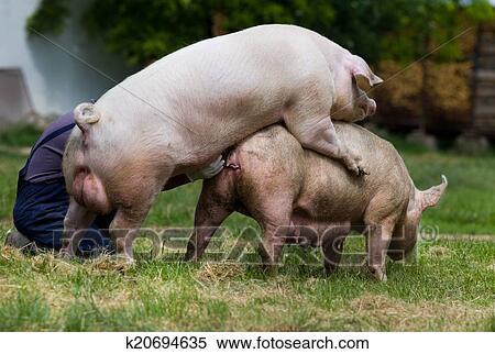 مخاوف من انتشار طاعون الخنازير في ألمانيا