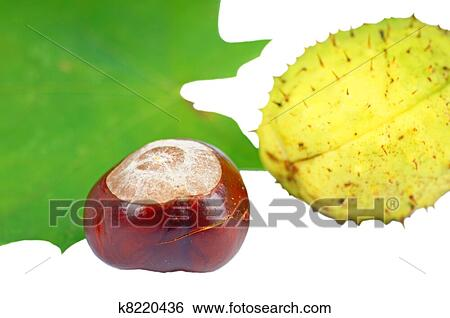 Stock Bilder Kastanie K8220436 Suche Stockfotografie