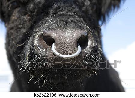 di bell'aspetto presa di fabbrica metà prezzo Toro, con, anello naso Archivio fotografico | k52522196 | Fotosearch