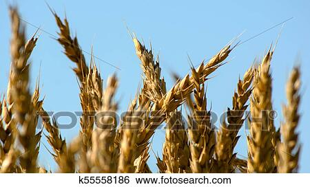 Golden Spikes Of Ripe Rye In The Sun At Dawn Or Sunset With