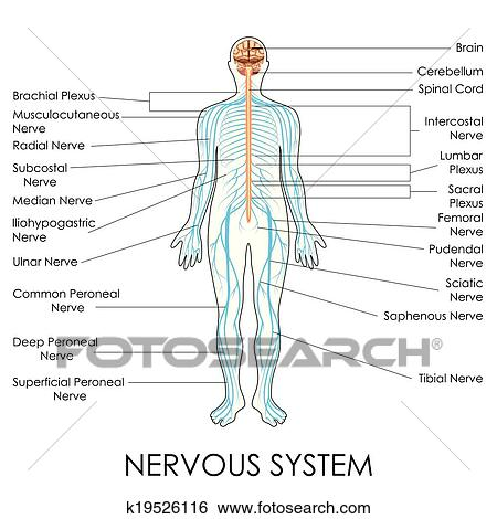Clip Art - nervensystem k19526116 - Suche Clipart, Poster ...