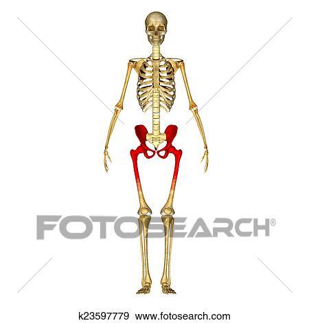 Stock Illustration - skelett, hüfte k23597779 - Suche Clipart ...