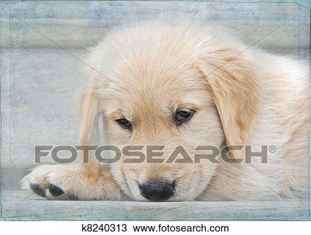 drawing of golden retriever puppy k8240313 search clipart