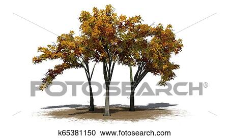 Several American Elm Trees In Autumn On A Sand Area Clipart
