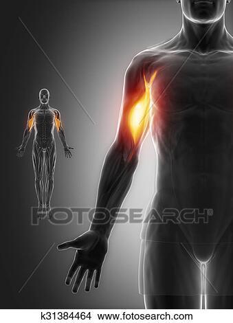 Zeichnungen - zweiköpfige armmuskel, -, koerperbau, muskeln ...