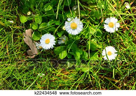 Closeup of white daisies flowers in green grass. Nature.
