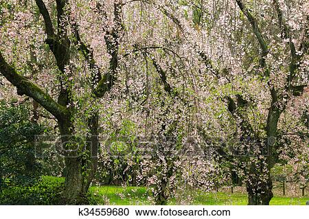 Weeping Japanese Sakura Cherry Blossom Trees With Pink Flowers In