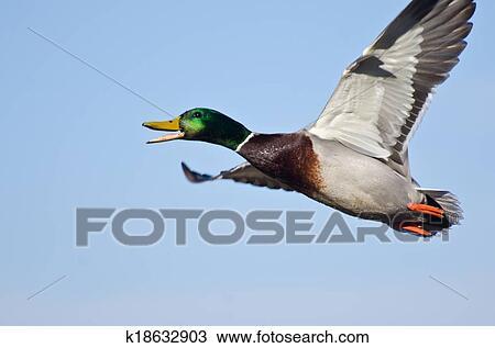 Stock Photo Of Male Mallard Duck Flying In A Blue Sky K18632903